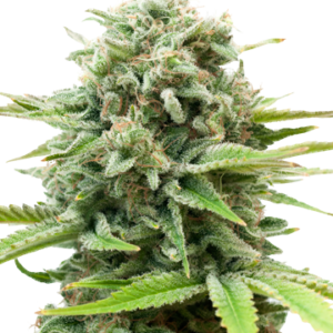 AK Auto-Flowering feminized cannabis seeds