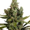 Cheese Auto-Flowering feminized cannabis seeds