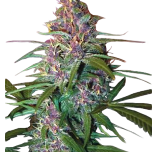 Critical purple auto-flowering fertilized cannabis seeds