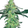 Amnesia feminized cannabis seeds