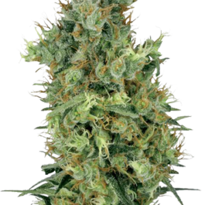 Diesel feminized cannabis seeds