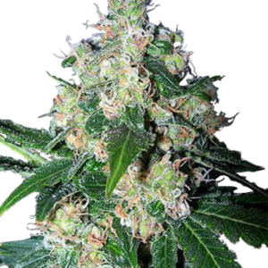 Meza feminized cannabis seeds
